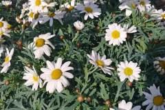 piante_margherite